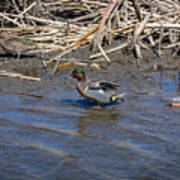 Green-winged Teal 7 Poster