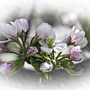 greeting card - Apple Blossoms  Poster