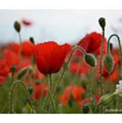 Greeting Card - Poppies In France Poster