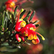 Grevillea Ground Cover Poster