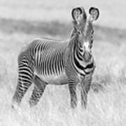 Grevy Zebra  5953bw Poster