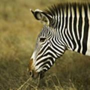 Grevy's Zebra Poster