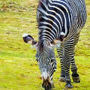 Grevys Zebra Right Poster