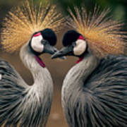 Grey Crowned Cranes Of Africa Poster