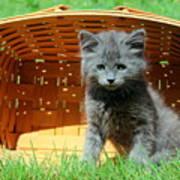 Grey Fluffy Kitten In Market Basket Poster