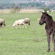 Grey Foal On Pasture Farm Scene Poster