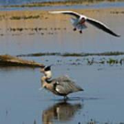 Grey Heron Being Mobbed Poster