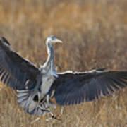 Grey Heron Landing Poster