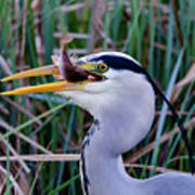 Grey Heron With Fish Poster