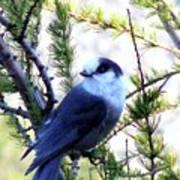 Grey Jay In A Juniper Tree Poster