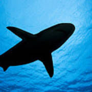 Grey Reef Shark Silhouette Poster