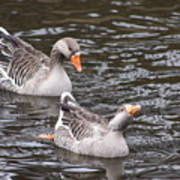 Greylag Geese Poster
