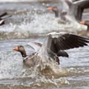 Greylag Goose Landing Poster