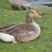 Greylag Goose Resting Poster