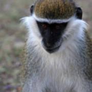 Grivet Monkey Poster