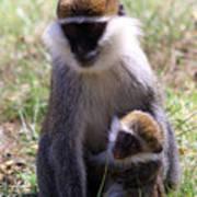 Grivet Monkey At Lake Awassa Poster