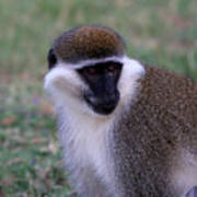 Grivet Monkey Ethiopia Poster