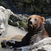 Grizzlies Snacking On Things They Find In A River Poster