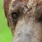 Grizzly Bear Arctos Ursus Poster