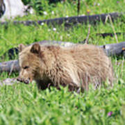 Grizzly Bear Cub In Yellowstone National Park Poster