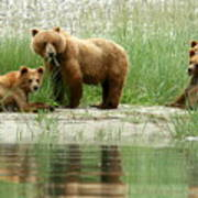 Grizzly Bear Family  Poster