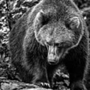 Grizzly Bear In Black And White Poster