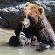Grizzly Bear Licking His Paw While Seated In A Muddy River Poster