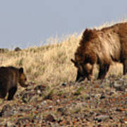 Grizzly Bear Mother And Cub Poster