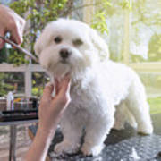 Grooming The Neck Of Adorable White Dog Poster