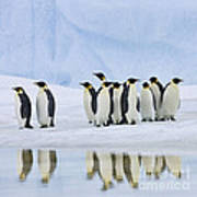 Group Of Emperor Penguins Poster