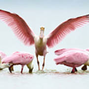 Group Of Roseate Spoonbills Poster