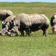 Group Of White Rhino Poster
