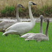 Group Of Young Swans Poster