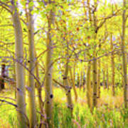 Grove Of Aspens On An Autumn Day Poster