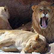 Growling Male Lion In Den With Two Females Poster