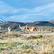 Guanaco In Patagonia Poster