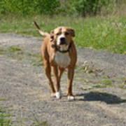 Guarding Pit Bull Dog Poster