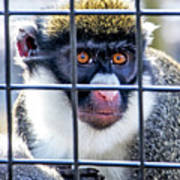 Guenon Monkey Poster