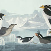 Guillemots And Auks Poster
