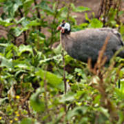 Guineafowl 3 Poster