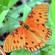 Gulf Fritillary Butterfly Cropped Poster