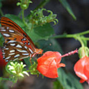 Gulf Fritillary Butterfly On Beautiful Flowers  Poster