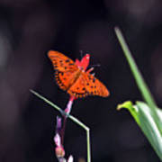 Gulf Fritillary Butterflyl Poster
