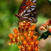 Gulf Fritillary On Butterflyweed Poster