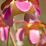 Gulf Purple Pitcher Plant Poster