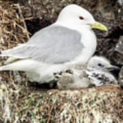 Gull Adult And Chick On Cliff Poster