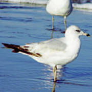Gull - Beach -reflection Poster