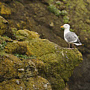 Gull On Cliff Edge Poster