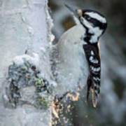 Hairy Woodpecker Female Poster