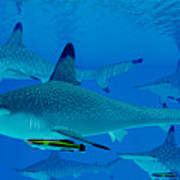 Hammerhead Sharks Poster